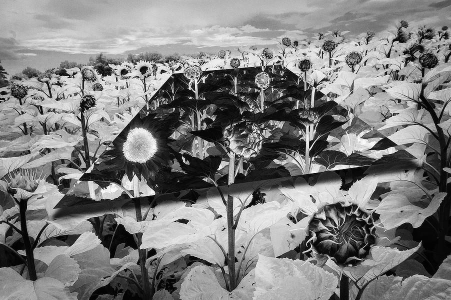 Anatomie krajiny. Část negativně převráceného obrazu působí jako zrcadlo umístěné v krajině. Pole slunečnic.