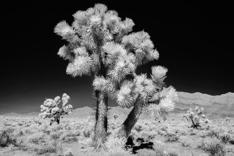 Infračervená černobílá fotografie Joshua Tree, Mojave Desert, Nevada