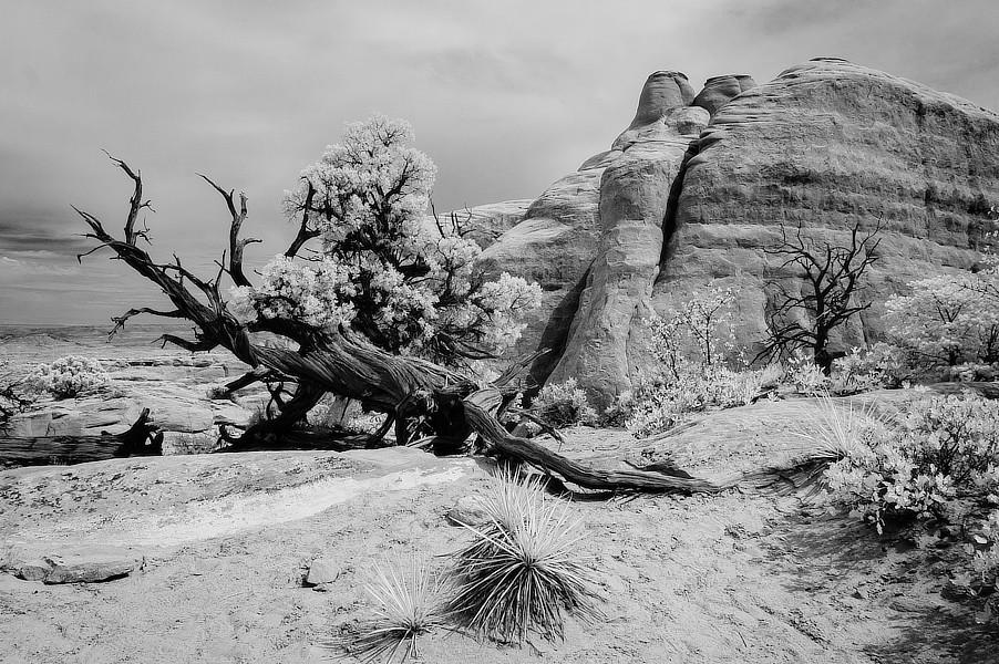 Infračervená černobílá fotografie torza stromu ve skalách, NP Arches, Utah.